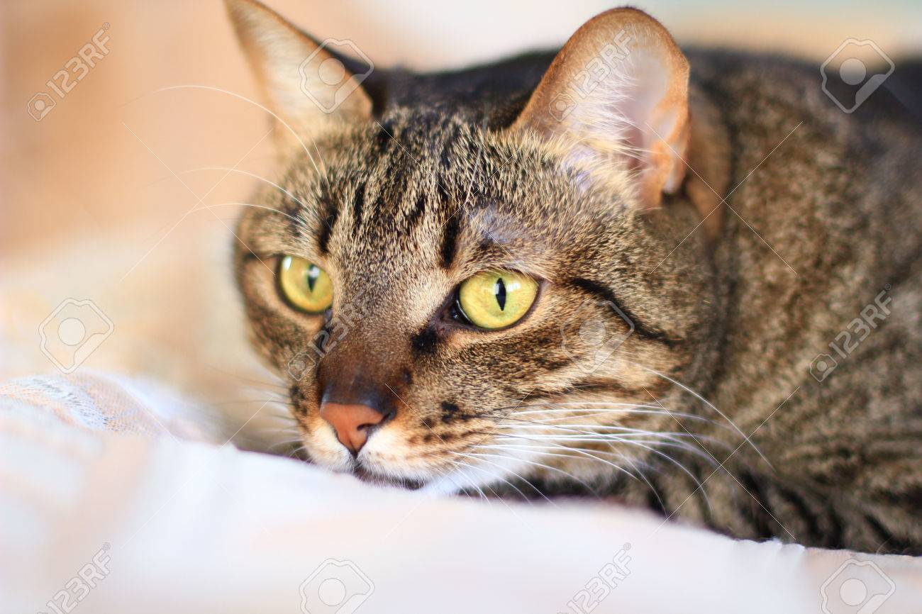 Tabby Cat With Bright Yellow Eyes Stock Photo Picture And Royalty Free Image Image 51500882