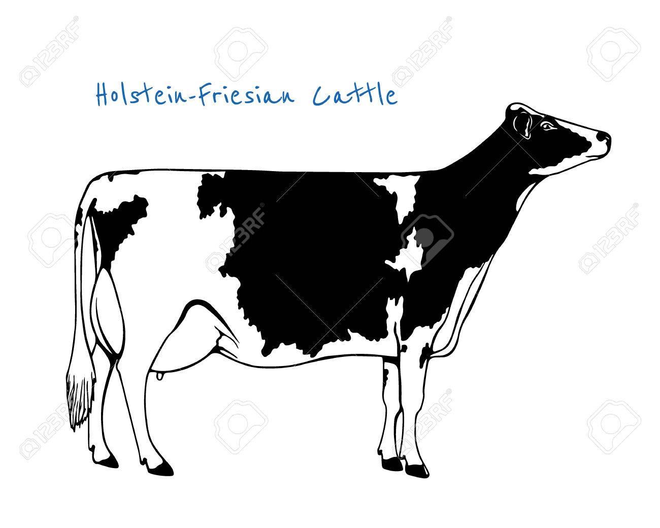 Vector Illustration Of Hand Drawn Holstein Friesian Cattle