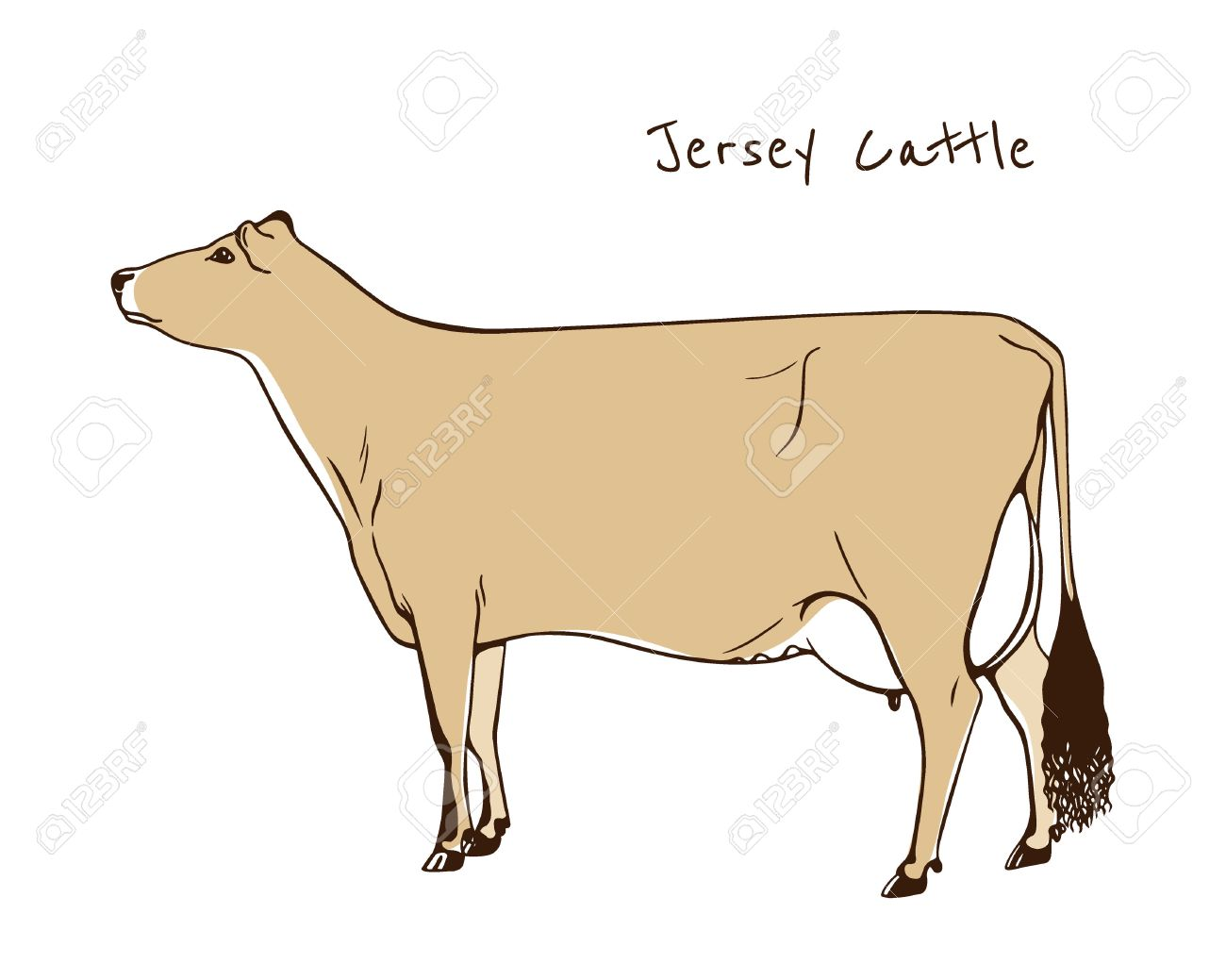 Vector Illustration Of Hand Drawn Jersey Cattle Beautiful Ink