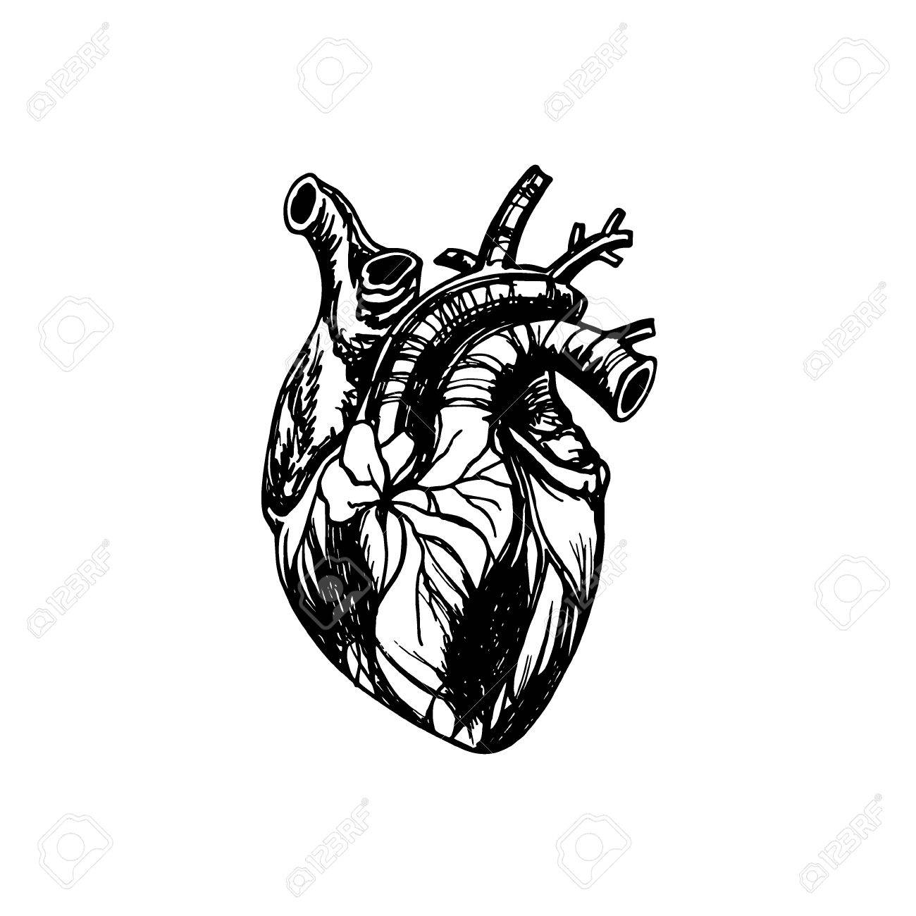 Vector Illustration Of Human Heart Anatomy Drawing Made In Graphic