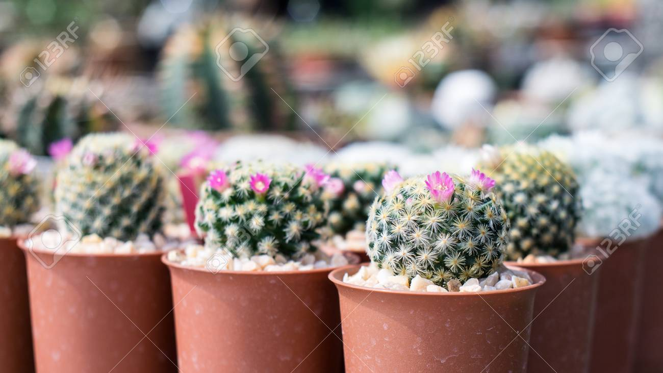 Pink cactus flower small cactus flower in cactus pots close stock pink cactus flower small cactus flower in cactus pots close up stock photo mightylinksfo