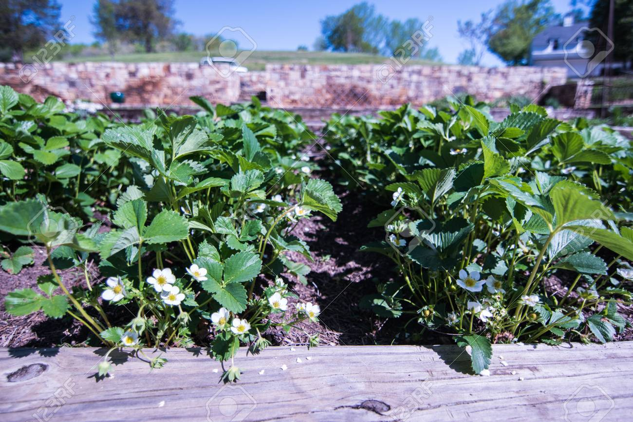 Rows Of White Flowering Strawberry Plants In Raised Garden Bed
