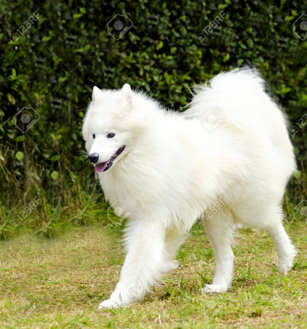 Samoyed Dog Breed | Info | Characteristics | Glomerulopathy