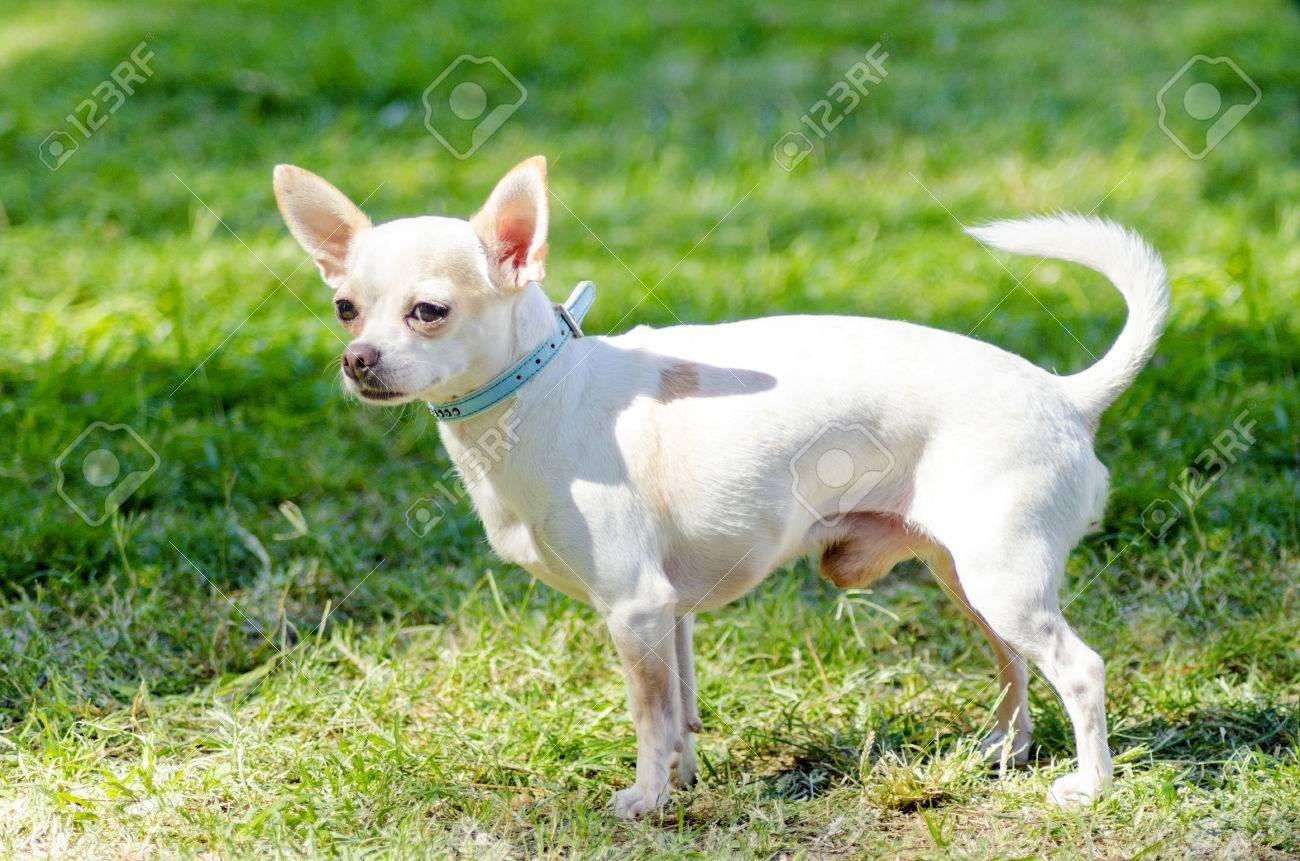Un Parado De Chihuahua Pequeño Joven Hermoso Blanco De Pelo Corto En El Césped Perros Chihuahua Son Los Más Pequeños De Tamaño