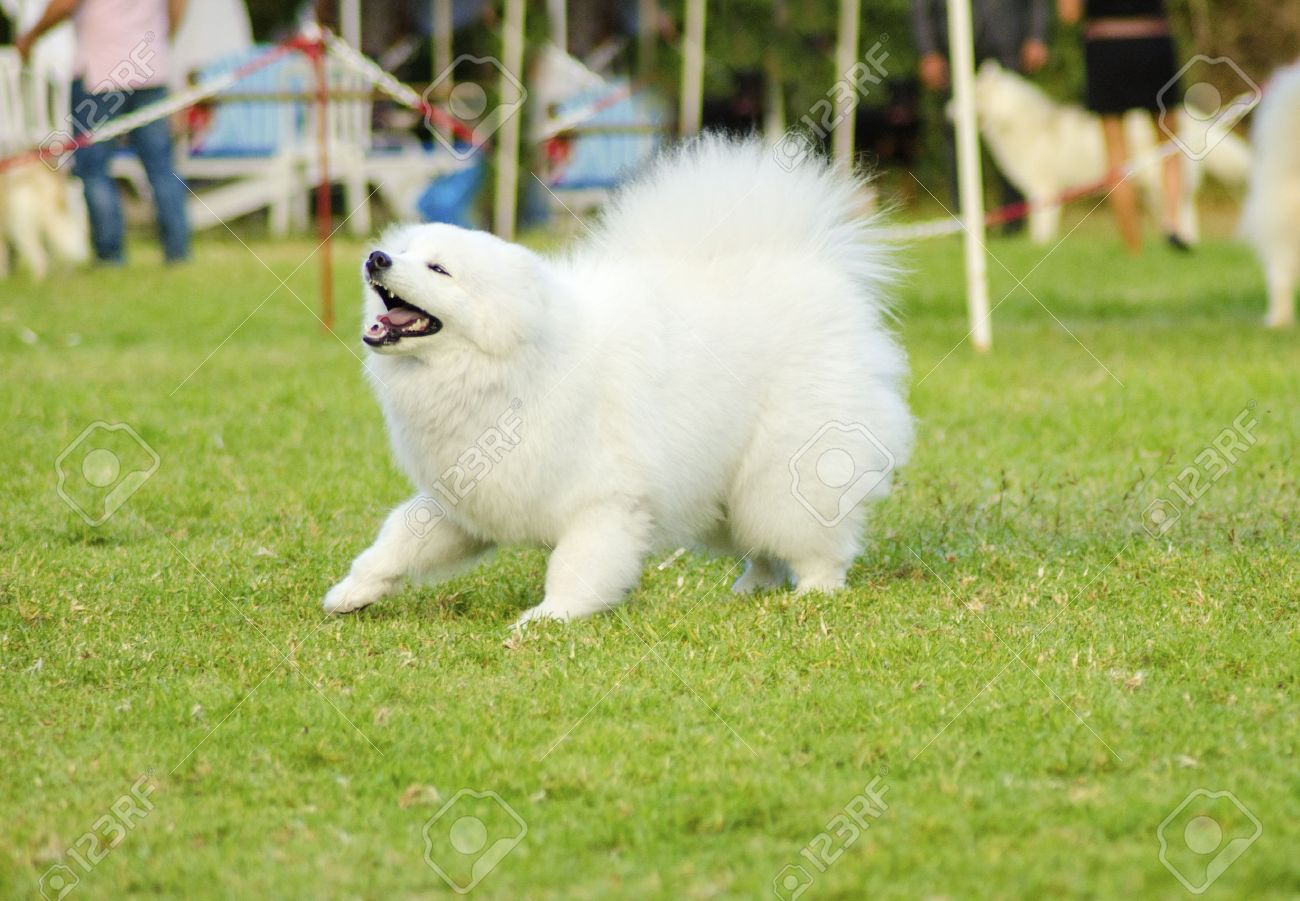 Samoyed, Bjelkier Dog Breed Guide Information and Pictures