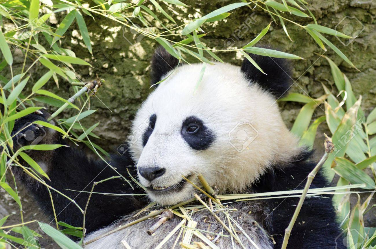 A Cute Adorable Lazy Baby Giant Panda Bear Eating Bamboo Stock Photo Picture And Royalty Free Image Image 27946972