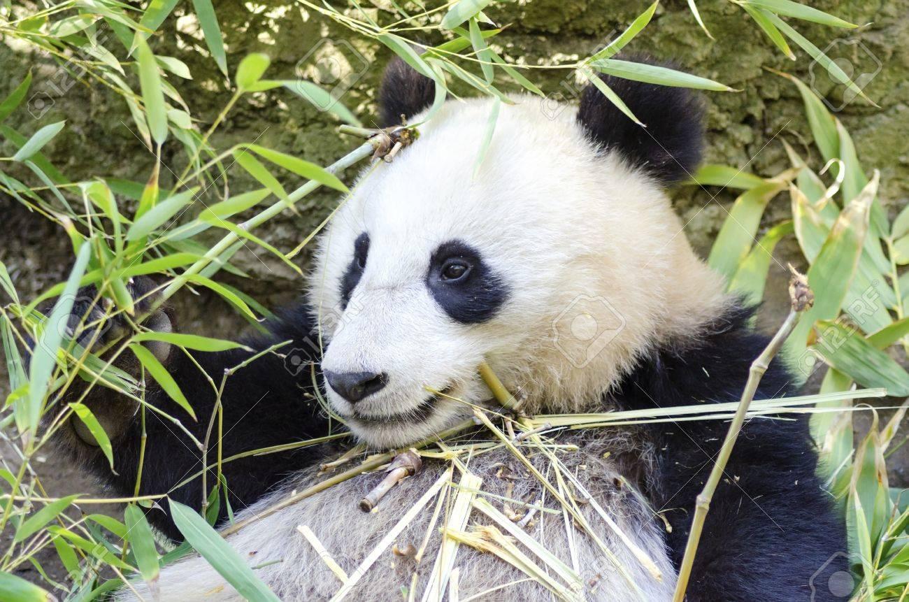 Eine Nette Entzuckende Baby Riesen Faulen Panda Bar Essen Bambus