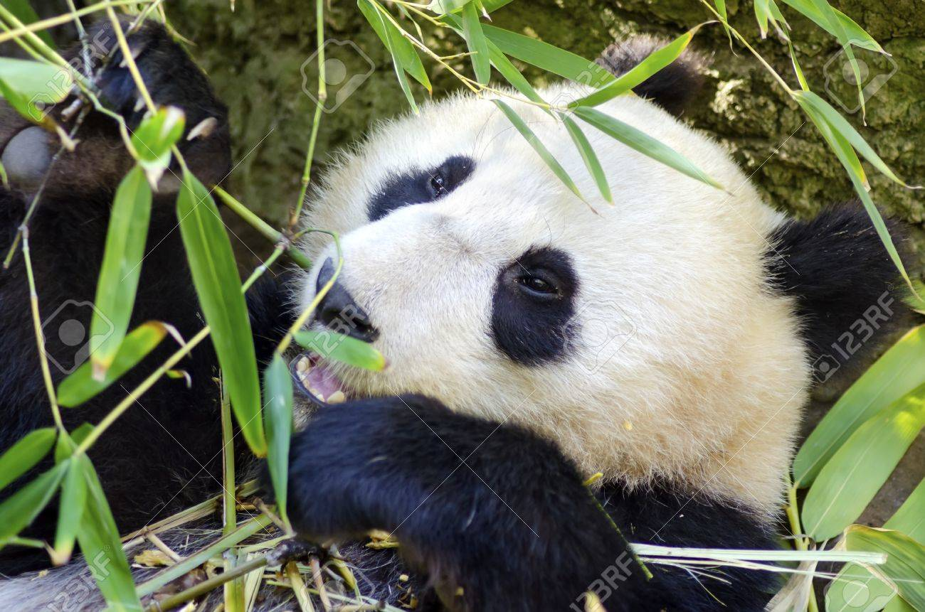 A Cute Adorable Lazy Baby Giant Panda Bear Eating Bamboo Stock Photo Picture And Royalty Free Image Image 28139290