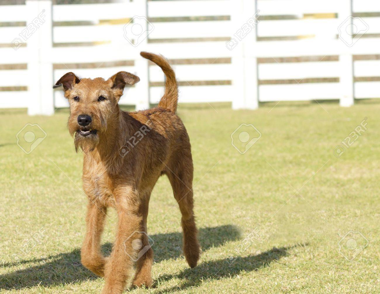 A Profile View Of A Young, Beautiful, Red, Tan Irish Terrier ...