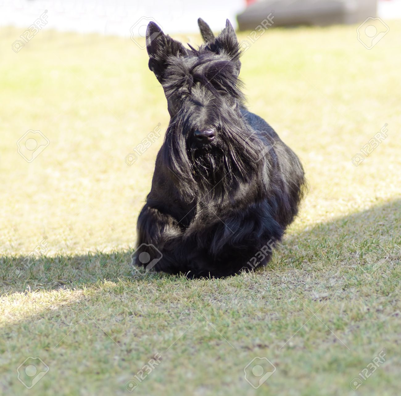 A View Of A Small Young And Beautiful Scottish Terrier Dog Walking