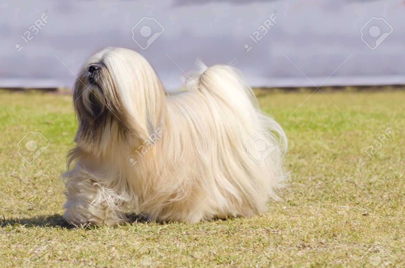 A Small Young Light Tan Fawn Beige Gray And White Lhasa Apso Stock Photo Picture And Royalty Free Image Image 32502817