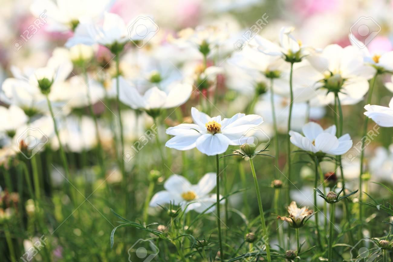 white asian chamomile field Stock Photo - 9071010