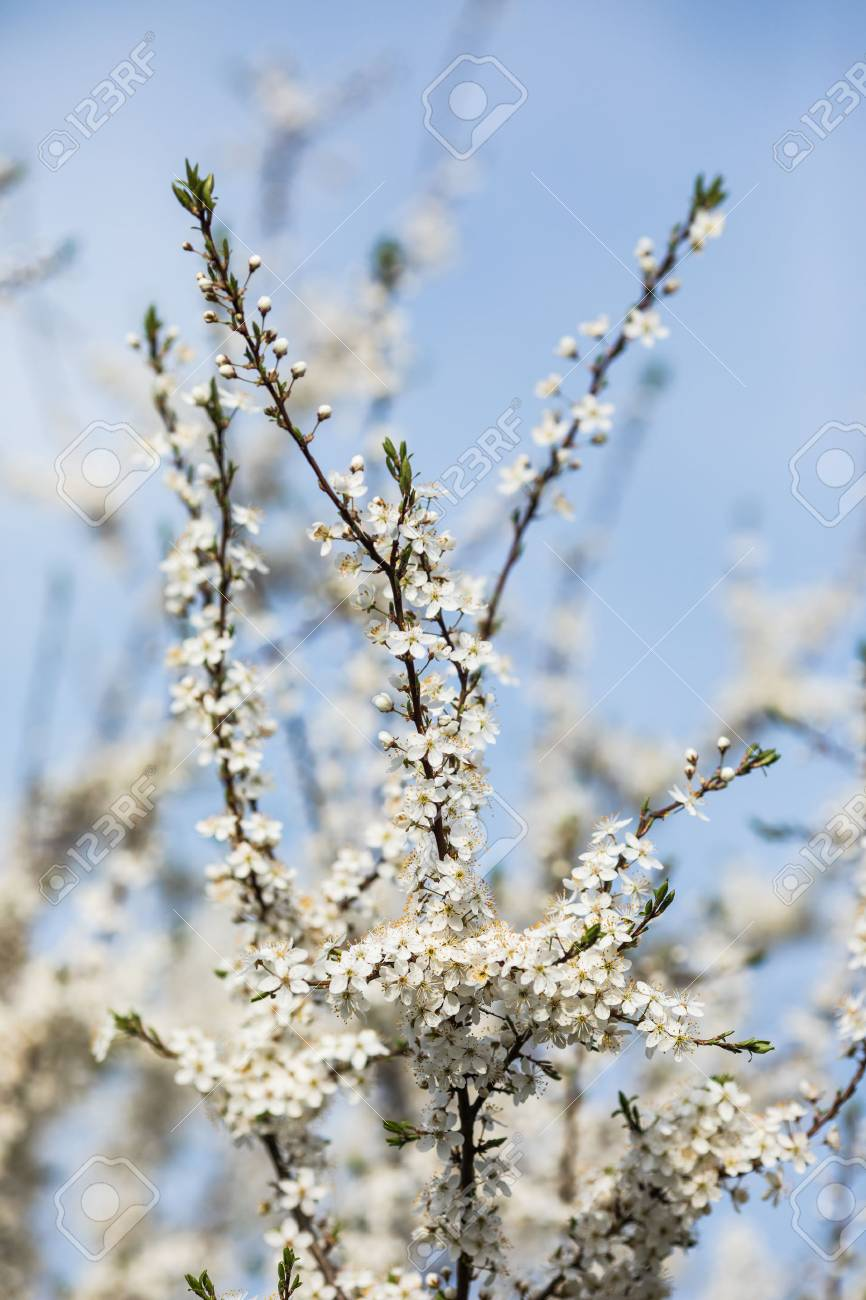 Almond Tree With Big White Flowers Under Sky Stock Photo Picture