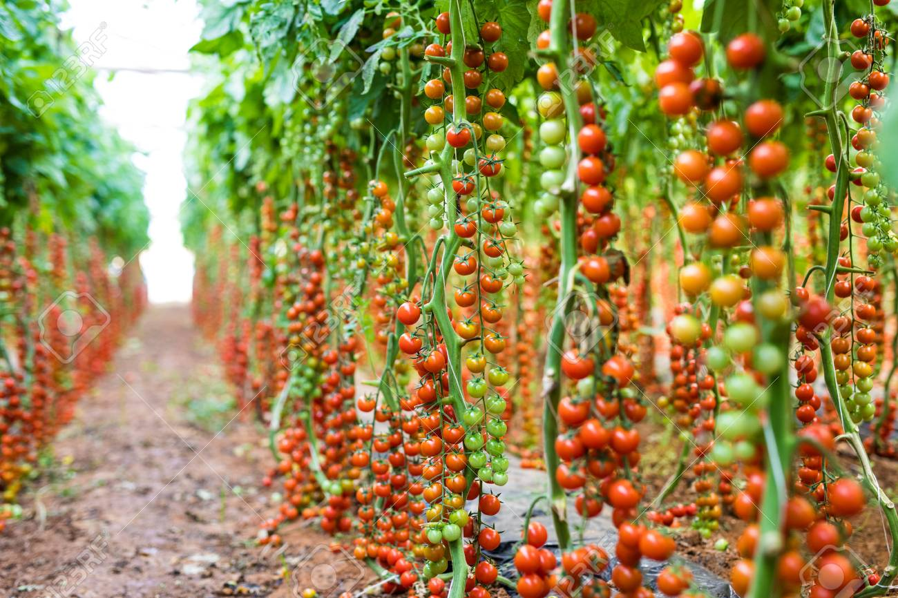 Ripe tomatoes ready to pick in a greenhouse  Agriculture