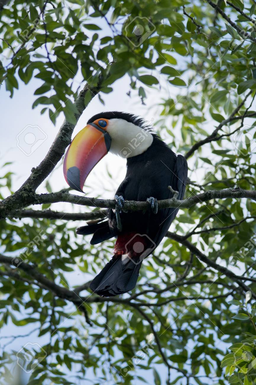 colorful toucan sitted on a branch in the Iguazu National Park between Argentina and Brazil Stock Photo - 17335607