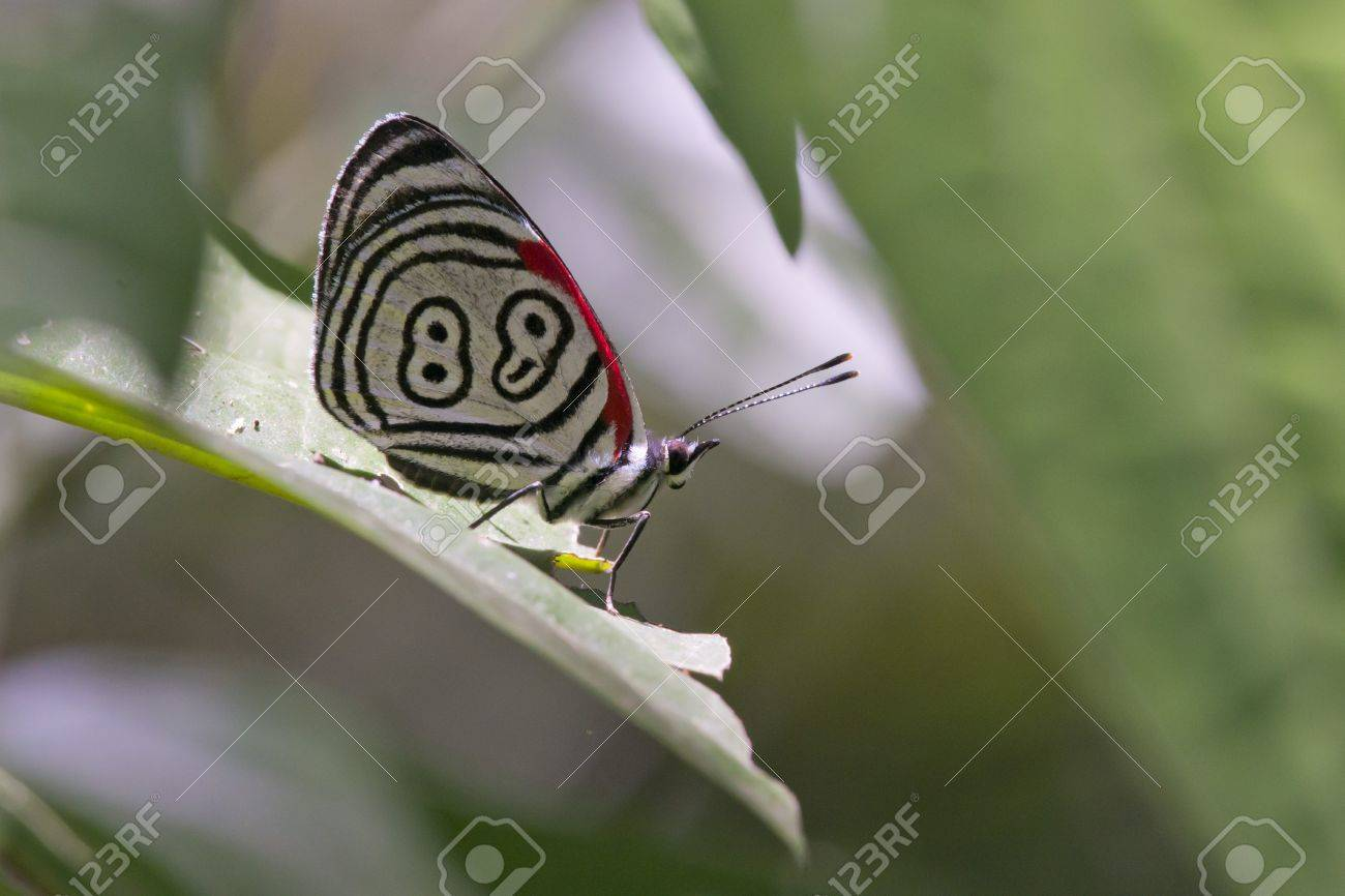 butterfly diaethria also called 88, in the Iguazu National Park between Argentina and Brazil - 17350447
