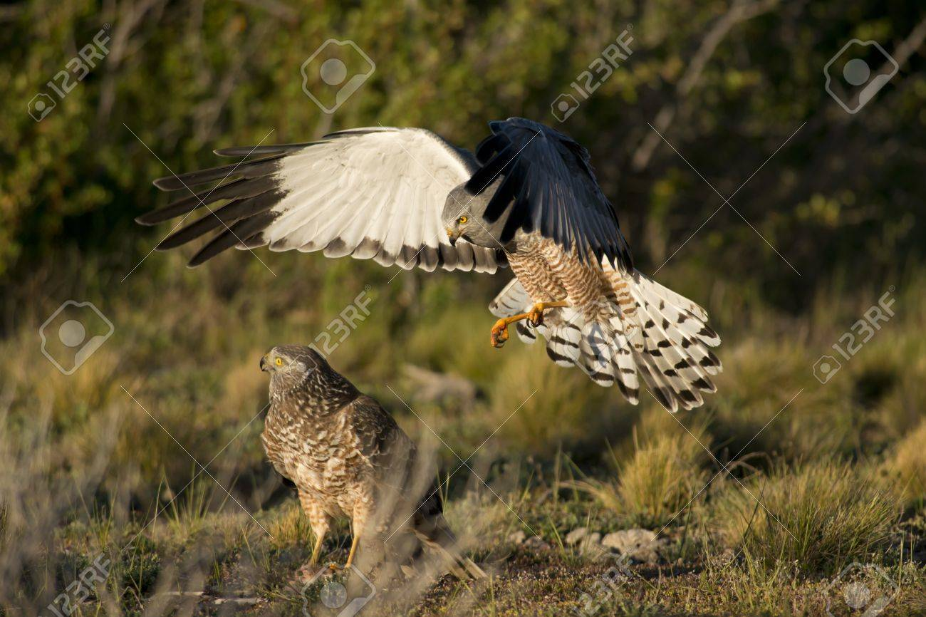 Male cinereous harrier flying at female harrier in the Laguna Nimez in Patagonia, Argentina - 17435410
