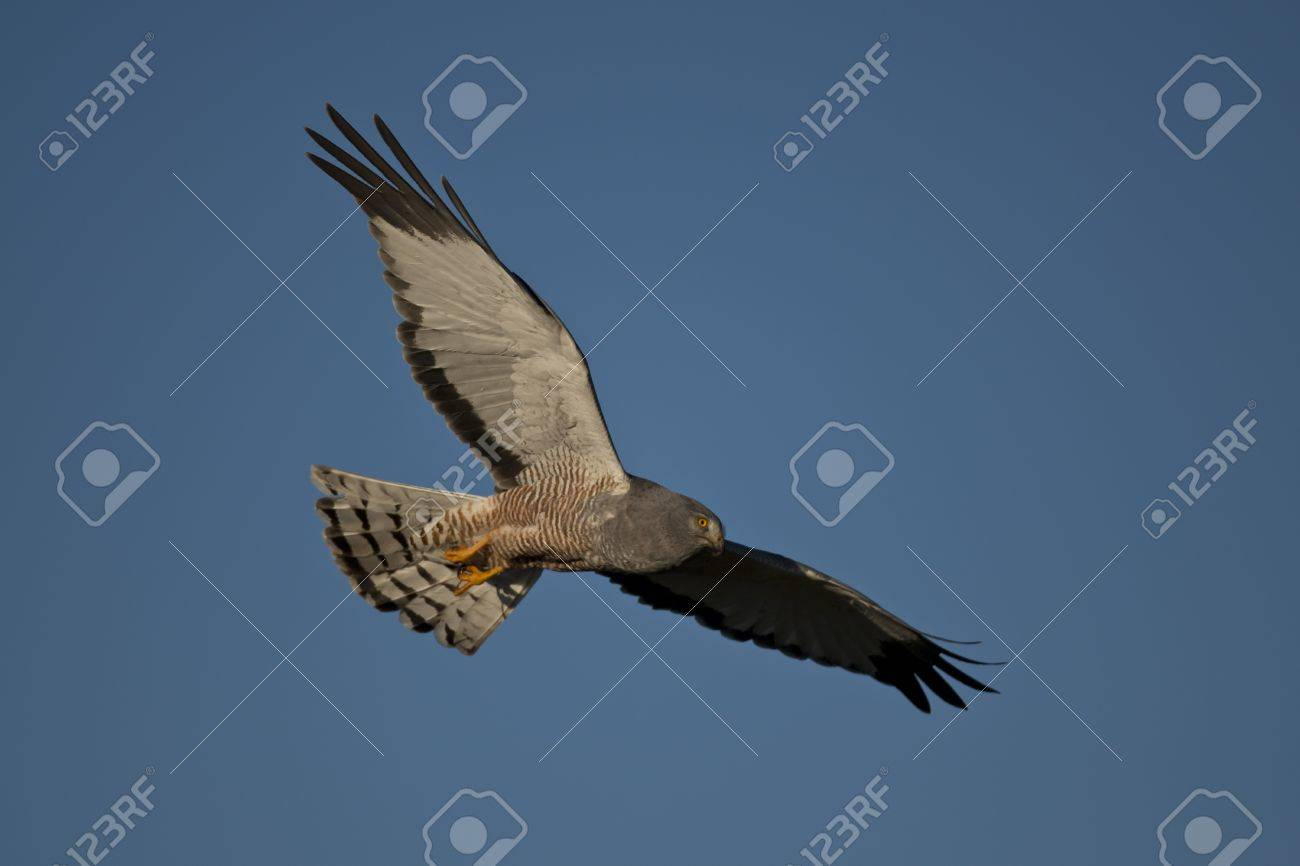 Male cinereous harrier flying in the blue sky, over the Laguna Nimez in Patagonia, Argentina - 17435371