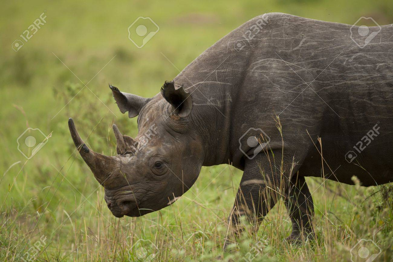 Black rhinoceros in Masai Mara National Park in Kenya - 18315374