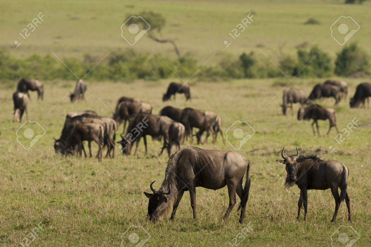 Herd of wildebeests in Masai Mara National Park in Kenya Stock Photo - 18340012