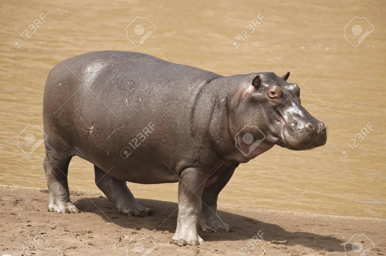 Hippopotamus on the shore of the Mara River in Kenya - 18671425