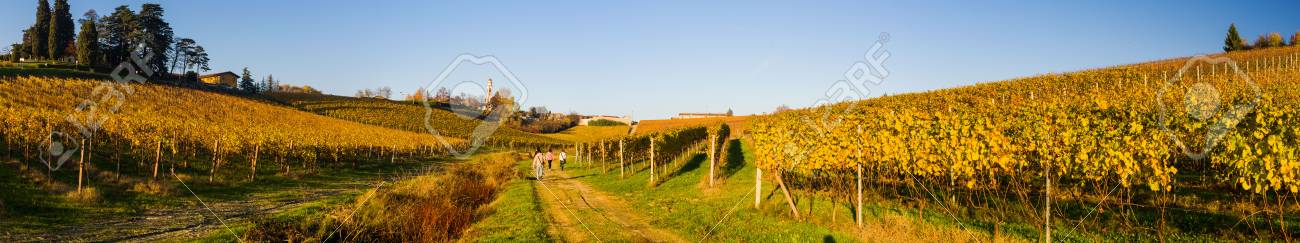 Yellow italian vineyard in autumn, situated in Piedmont. - 53540311