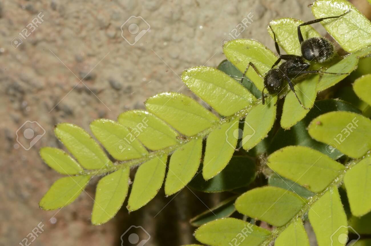 Black ant (scientific name Camponotus crassus) on leaves - 151517670