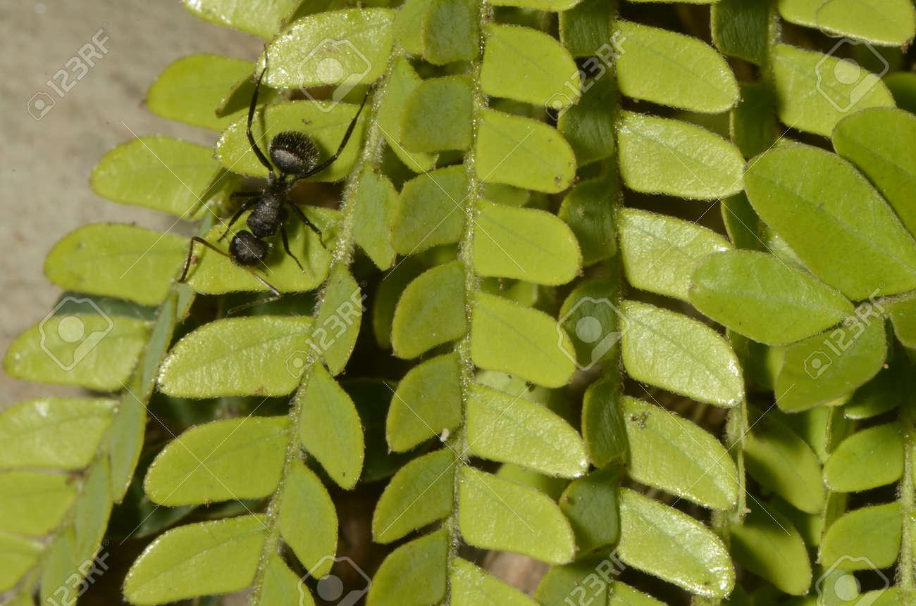 Black ant (scientific name Camponotus crassus) on leaves - 151517691