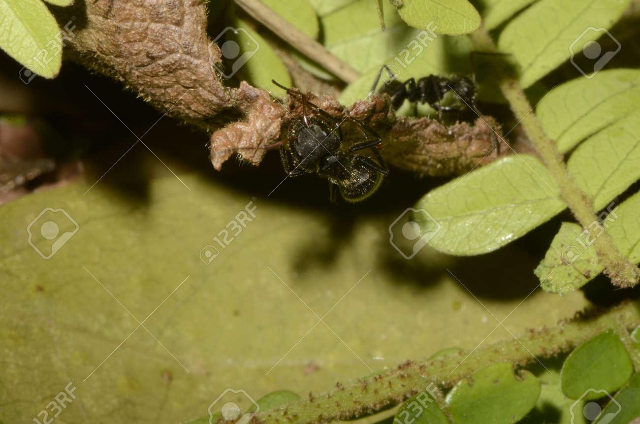 Black ant (scientific name Camponotus crassus) on leaves - 151517884