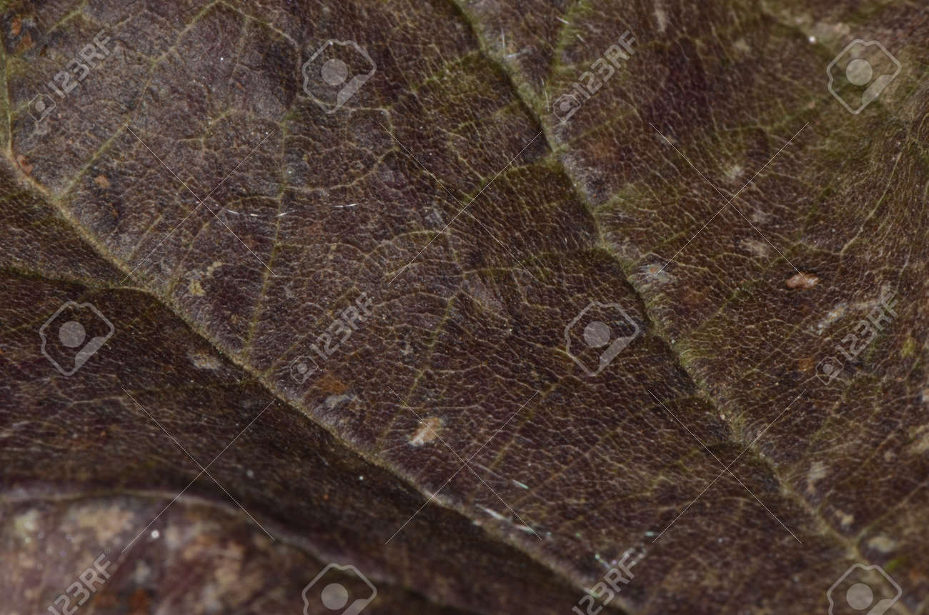 Macro of a texture of a dry leaf - 151517741