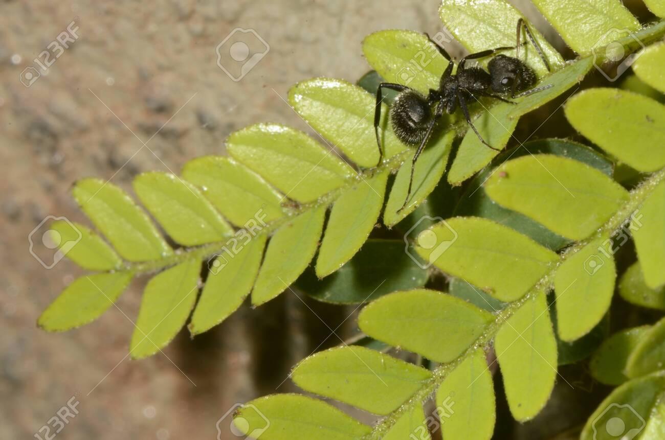 Black ant (scientific name Camponotus crassus) on leaves - 151517452