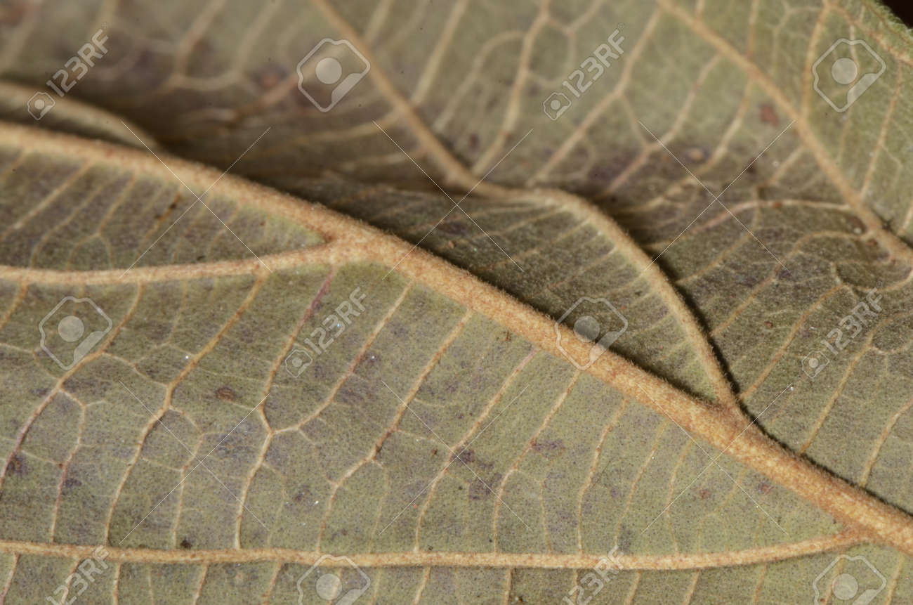 Macro of a texture of a dry leaf - 151516968