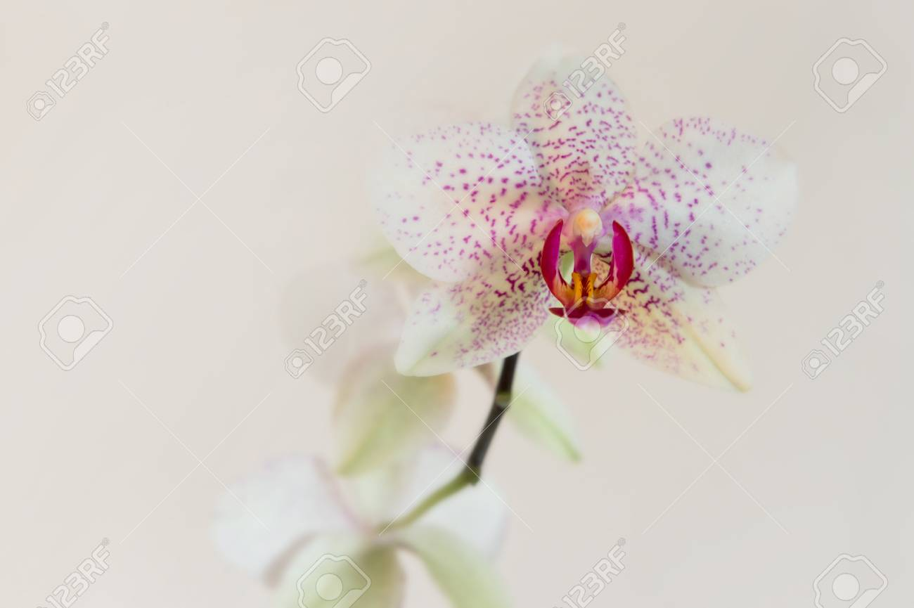 Stem Orchid Flower White With Pink Spots Neutral Background Stock