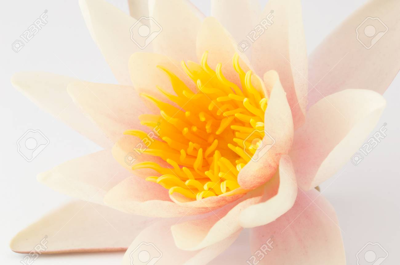 Pink and white lotus flower isolated on white background royalty pink and white lotus flower isolated on white background stok fotoraf 48003985 izmirmasajfo