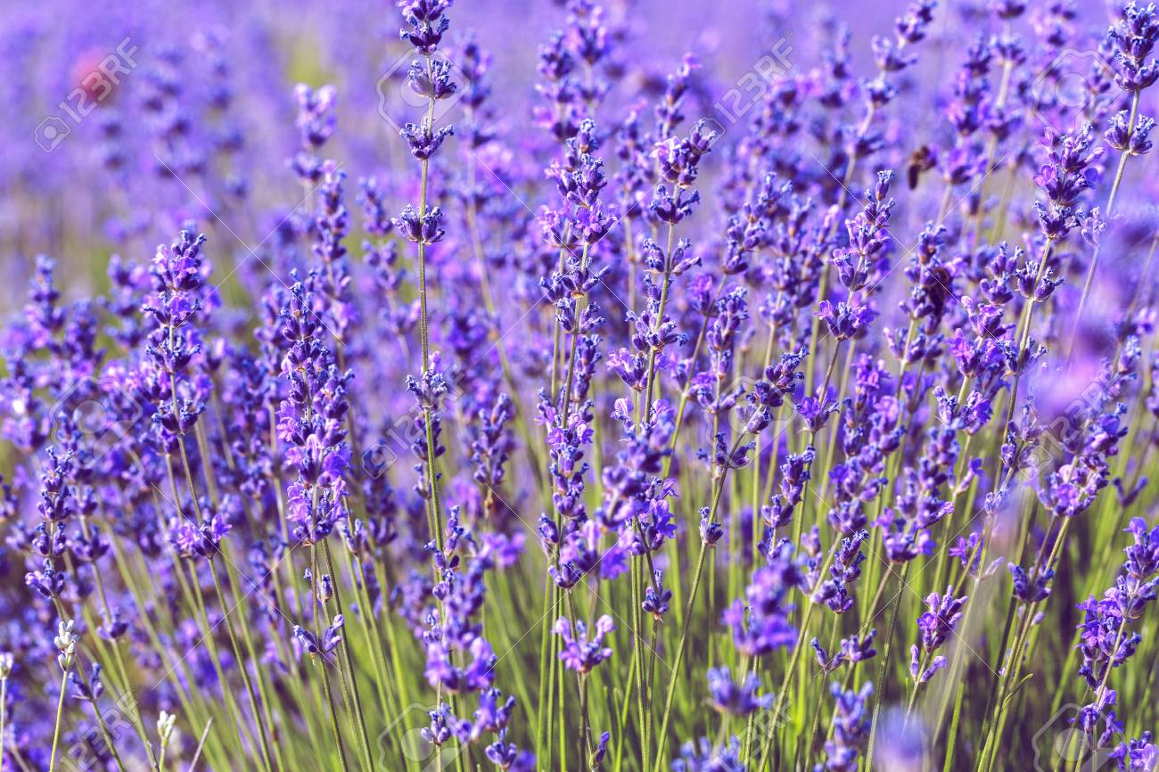 Lavender Field in the summer - 111940586