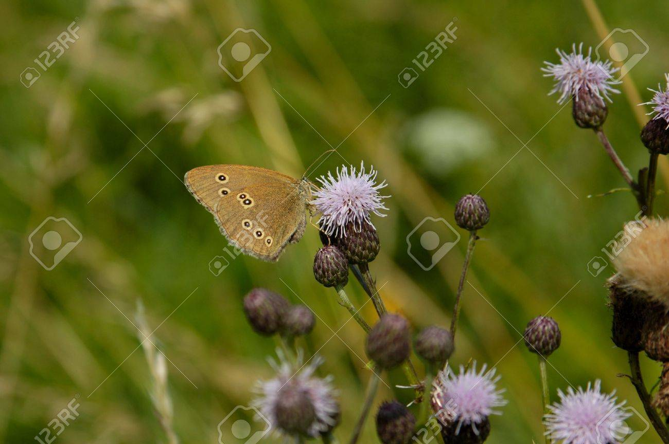 Ringlet butterfly on thistle flower Stock Photo - 5316714