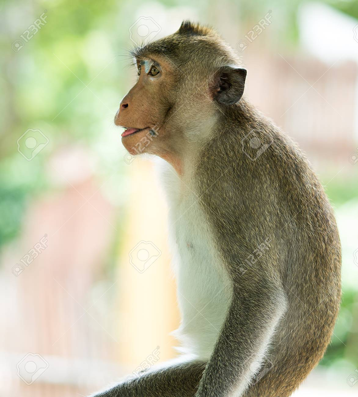 Stock Photo - The brown monkey has a black mole on the lips is waiting for  a friend