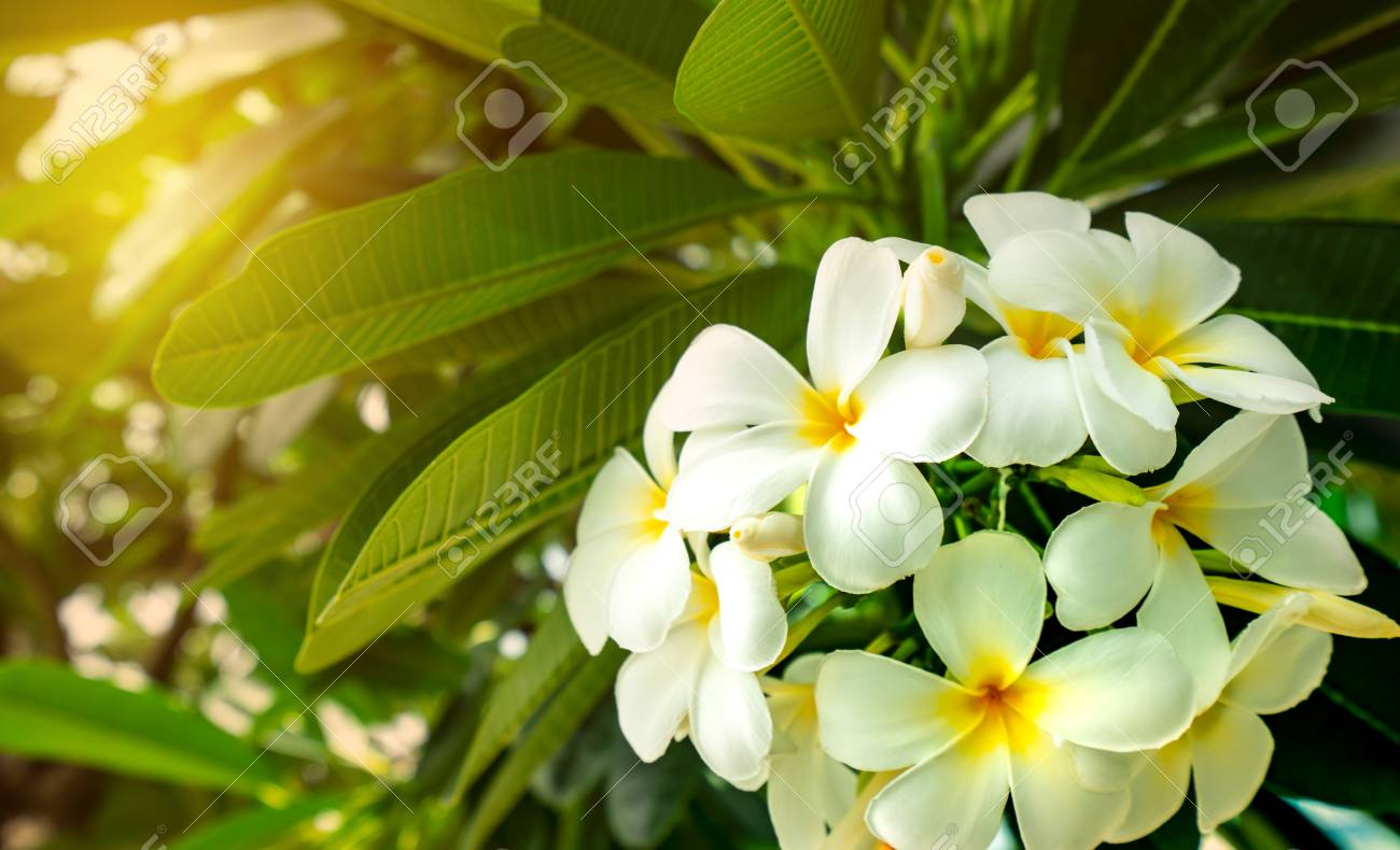 Frangipani flower (Plumeria alba) with green leaves on blurred..