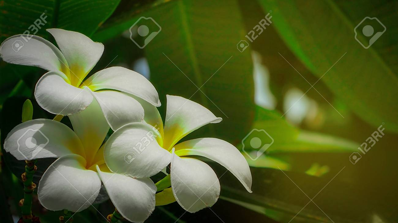 Frangipani Flower Plumeria Alba With Green Leaves On Blurred