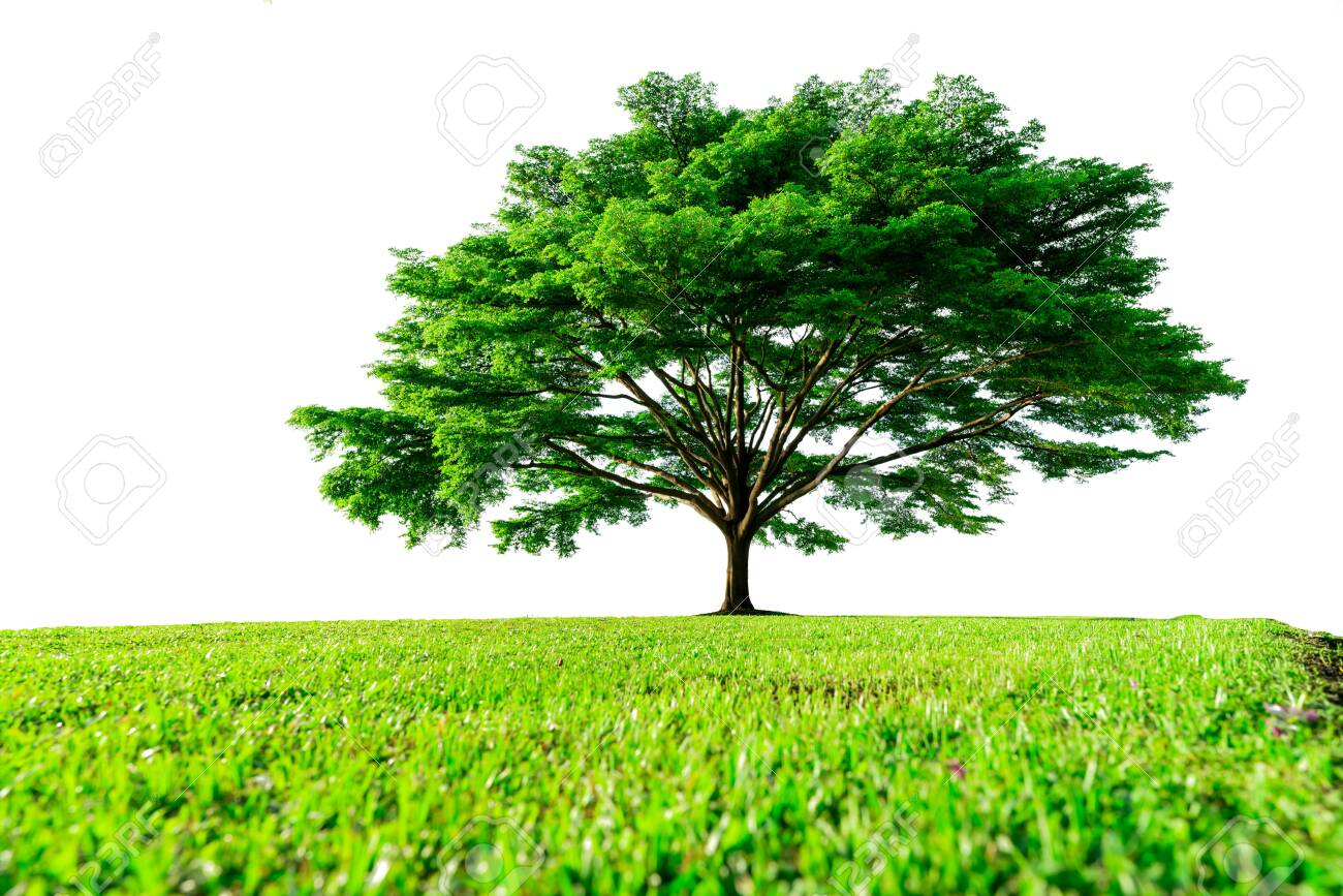 Big green tree with beautiful branches and green grass field isolated on white background. Lawn in garden on summer. Sunshine to big tree on green grass land. Nature landscape. Park decoration. - 151464548