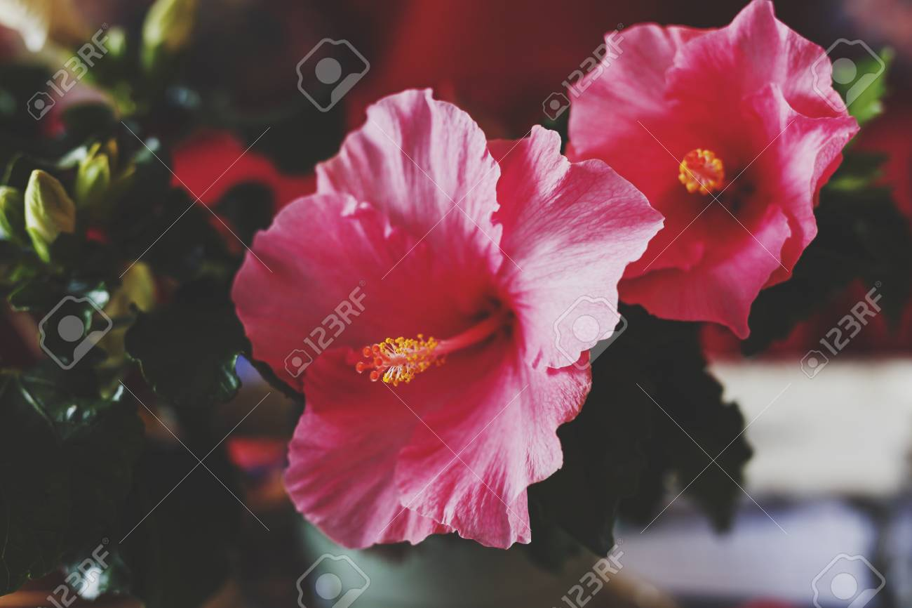 Pink Hibiscus Plants With Blooming Flowers In Indoor Setting Stock