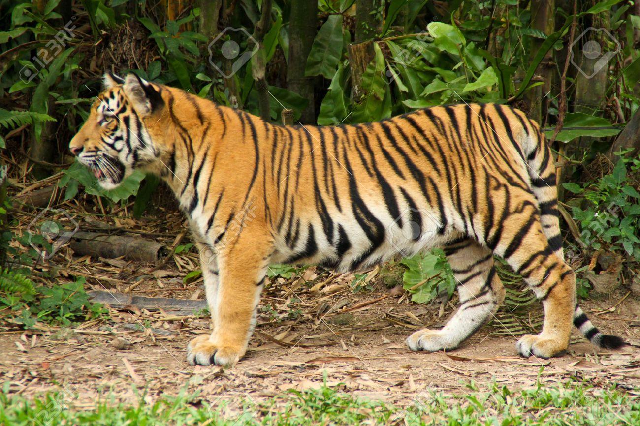 The Malayan Tiger - 8668832