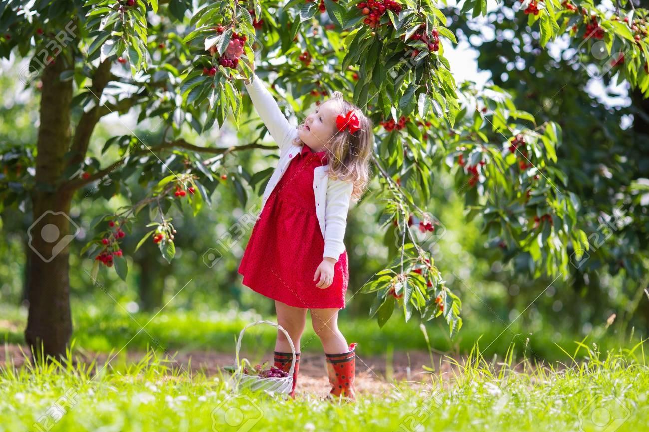 Kids Picking Cherry On A Fruit Farm. Children Pick Cherries In ... for Fruit Farm Photography  166kxo