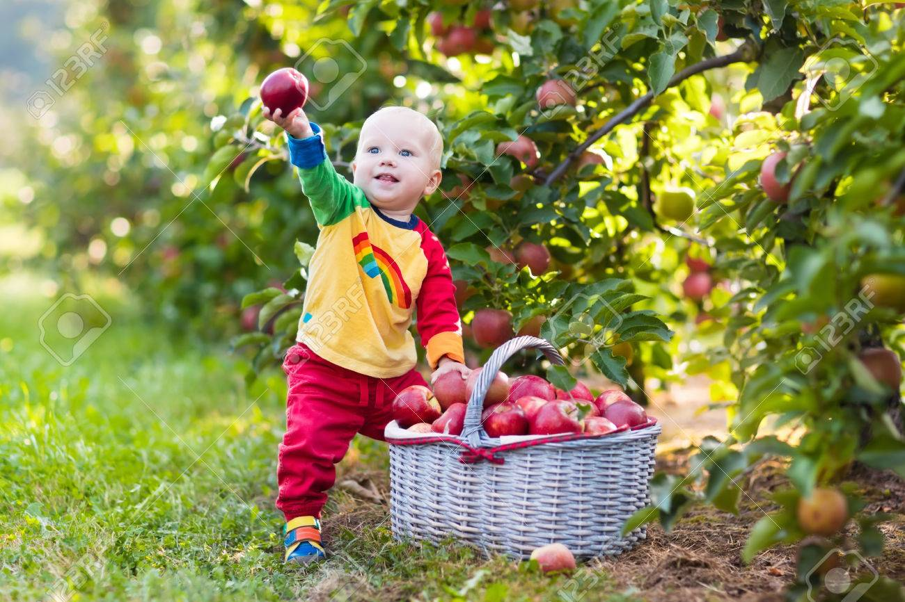 child picking apples on a farm in autumn. little baby boy playing