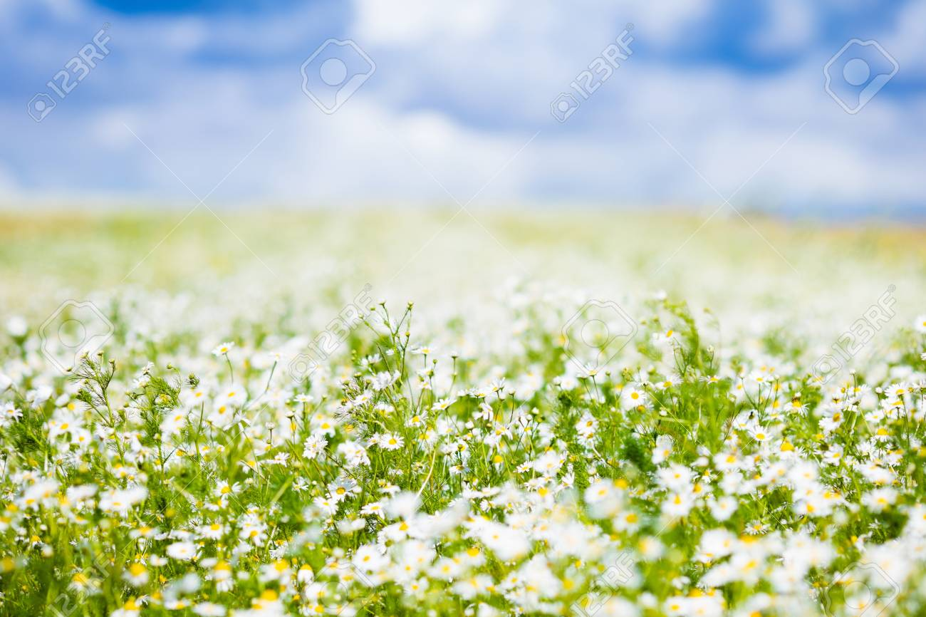 Beautiful Field Of Daisy Flowers On Sunny Summer Day Daisies