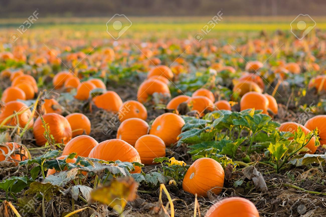 pumpkin patch in germany
