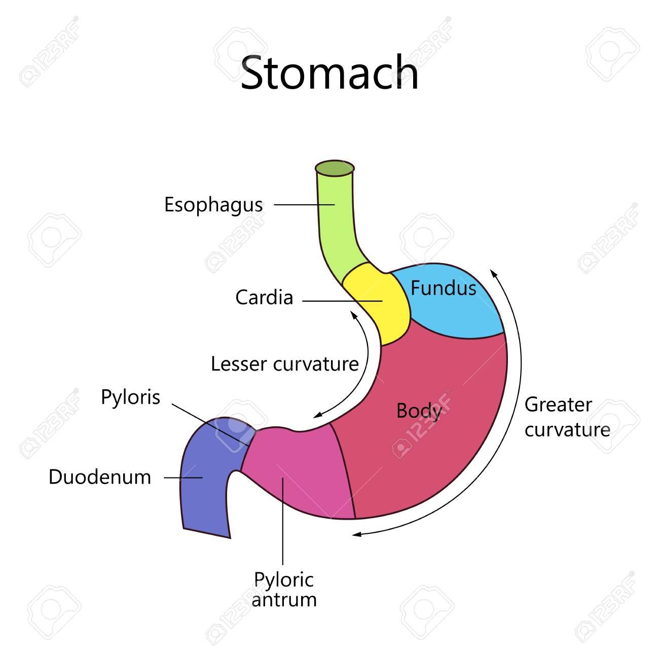 Wunderbar Muskelzelle Diagramm Gekennzeichnet Zeitgenössisch ...
