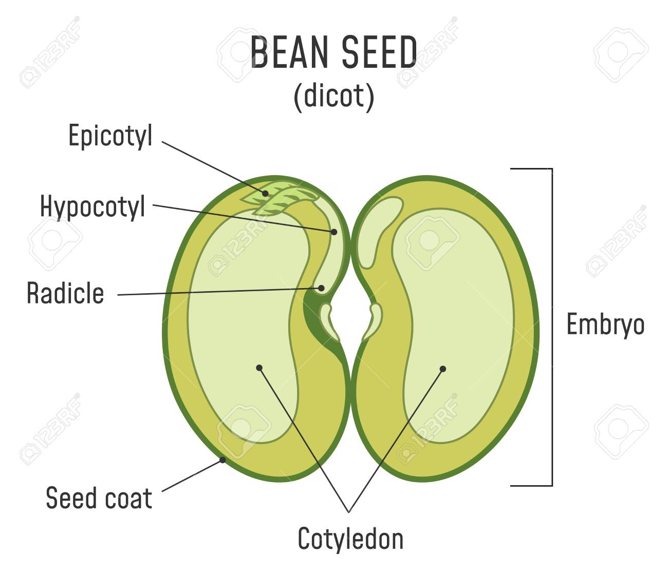 bean seed structure. anatomy of grain. dicot seed diagram. royalty free  cliparts, vectors, and stock illustration. image 124796334.  123rf.com