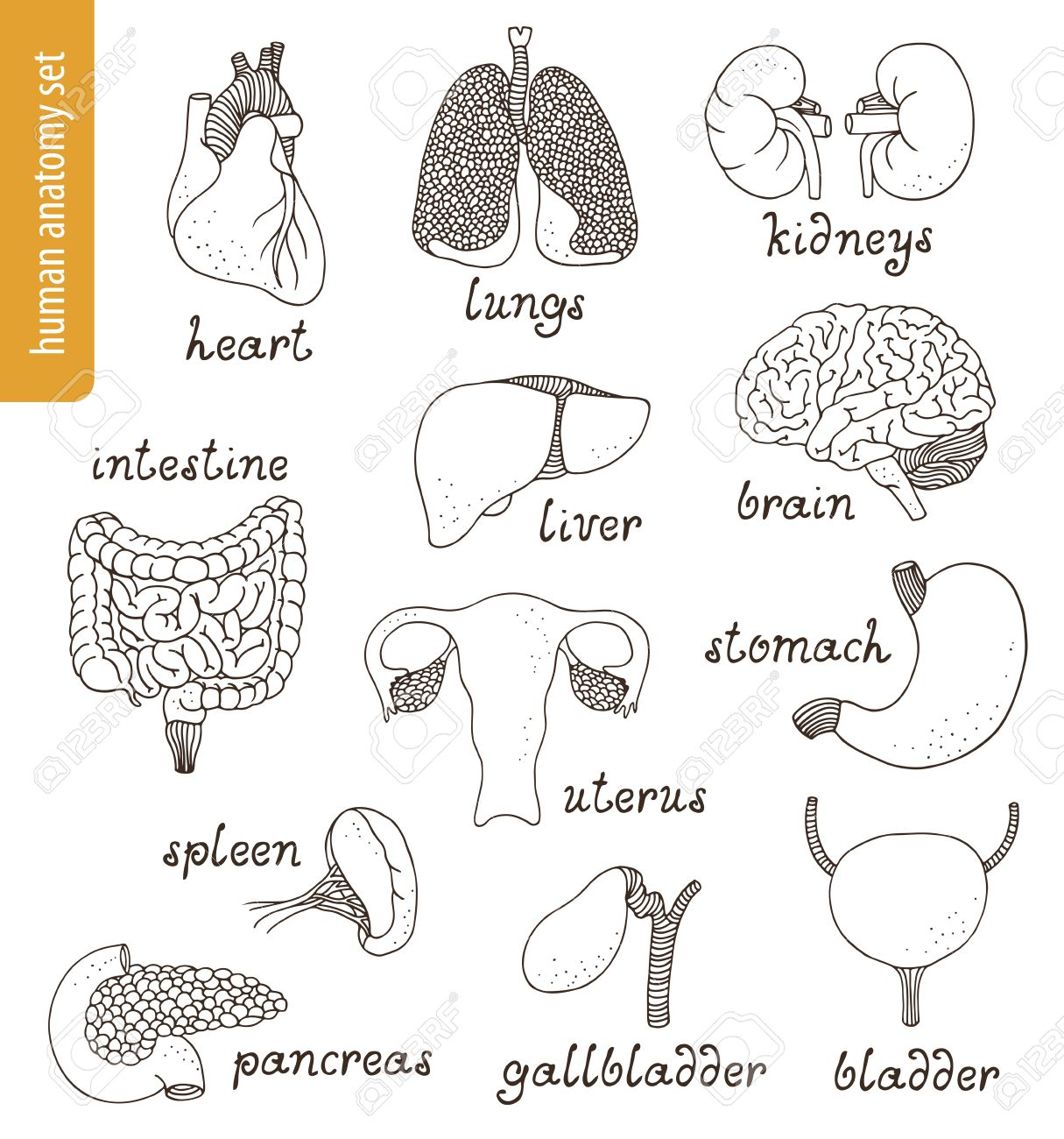 Anatomy Vector Set: Brain, Heart, Lungs, Intestines, Kidneys ...