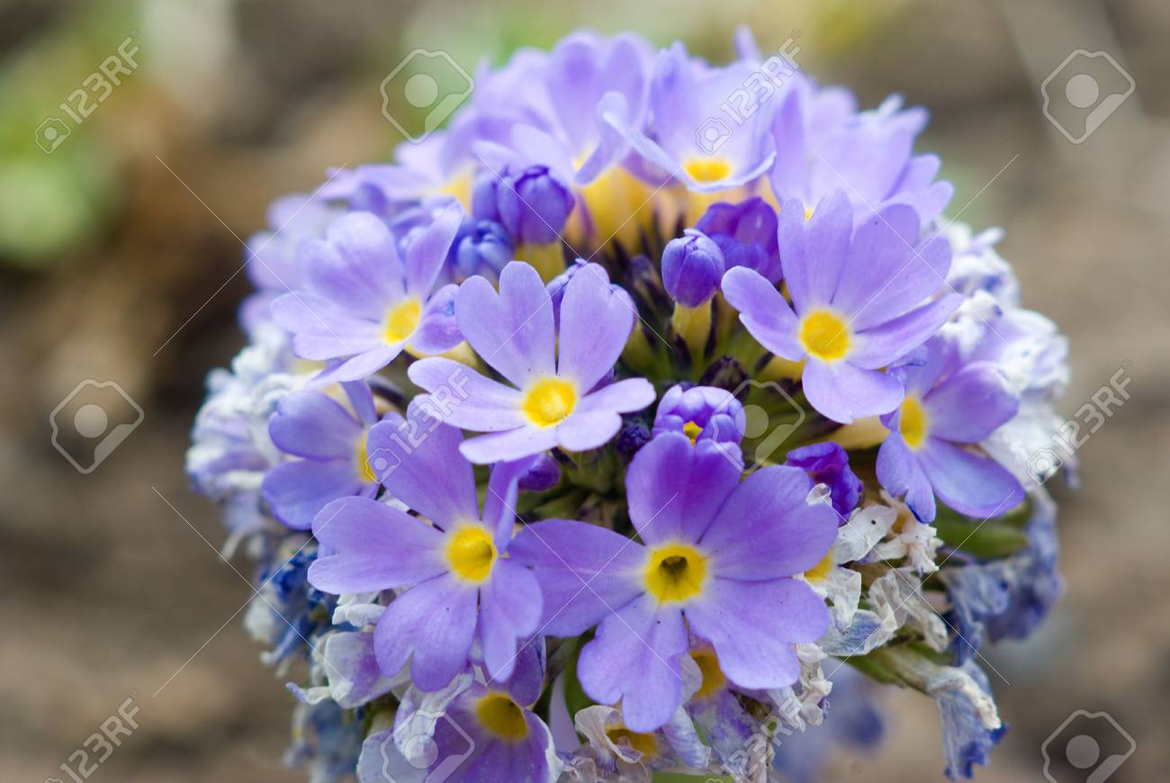 spring flower.blue petal close-up .forget me not Stock Photo - 3101556